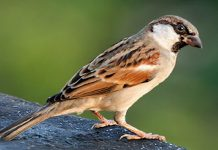 Sparrow, World Sparrow Day, Filmbibo
